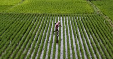 APPEALS, ABU introduce improved rice seeds to farmers in Kano state 4