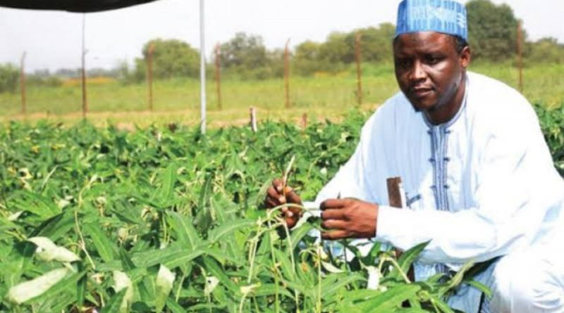 Cowpea developed by IAR-ABU Zaria scientists to be released commercially 1